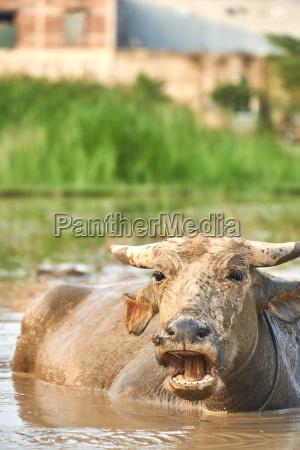 a portrait of a water buffalo