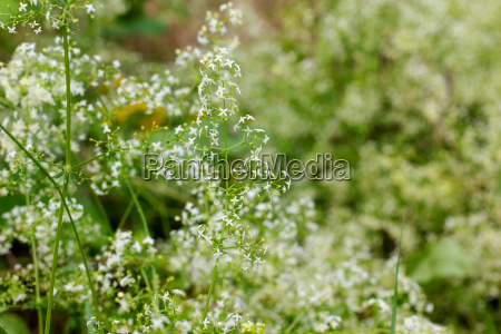 meadow with flowering hedge bedstraw