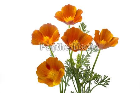 california poppy eschscholzia californica isolated