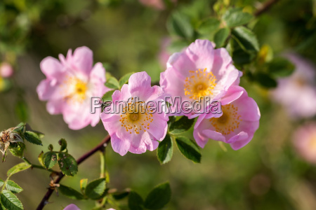beautiful blooming wild rose bush dog