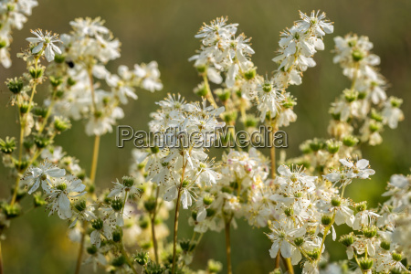 meadowsweet filipendula ulmaria flowering plants