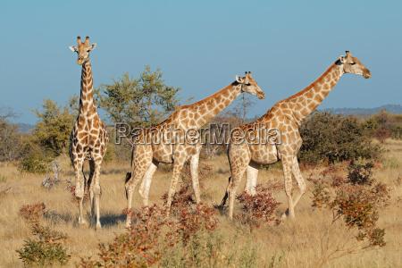 giraffes, in, natural, habitat - 22644849