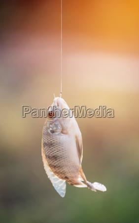 nile tilapia fish hanging on hook