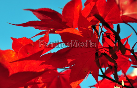 flaming red maple against a bright
