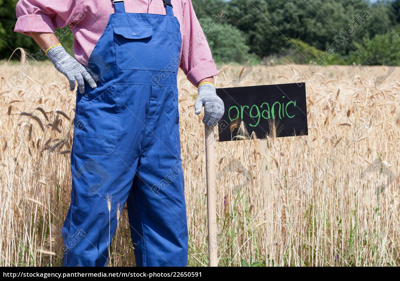 organic, wheat, field - 22650591