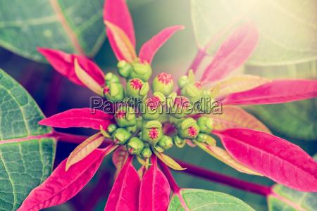 vintage flower of poinsettia