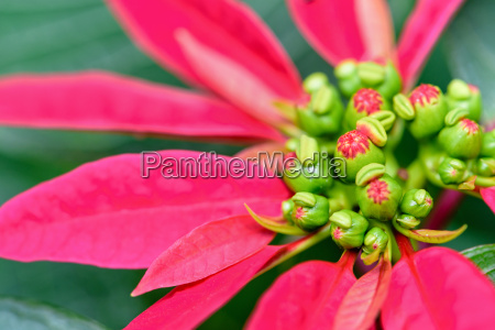 leaves and flower of poinsettia