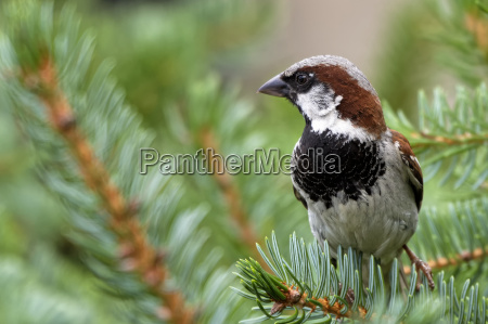 house sparrow males