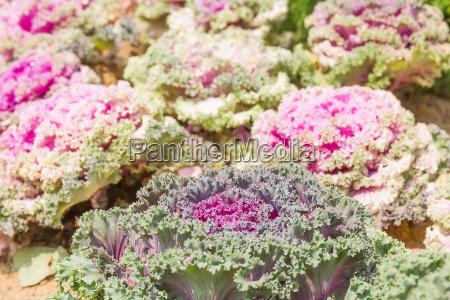 close up fresh cabbage brassica oleracea