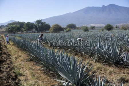 tequila is made from the blue