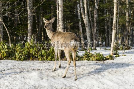 japanese spotted deer cervus nippon yesoensis
