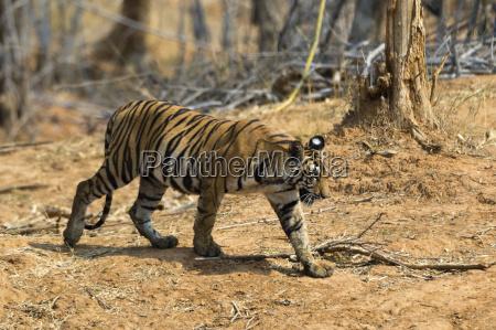 a bengal tiger panthera tigris tigris