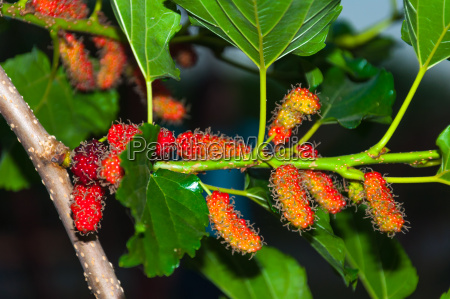 mulberry fruits on tree