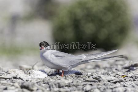 arctic tern close up