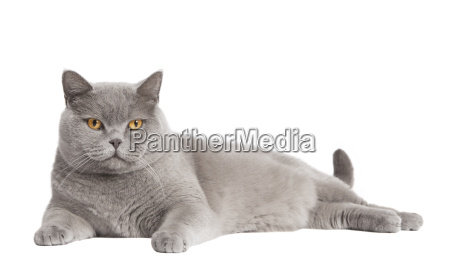 british shorthair cat free