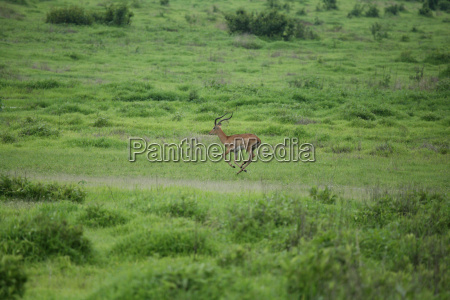 wild antelope mammal in african botswana