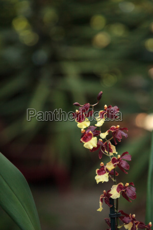 yellow and maroon oncidium orchid hybrid