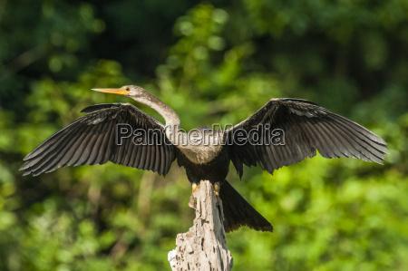 anhinga spreading wings in mamiraua ecological