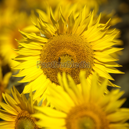 sunflower close up square format