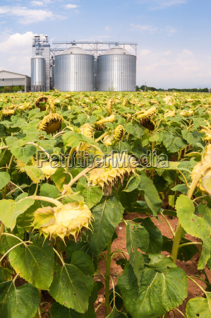 field, of, sunflowers, ready, for, harvest. - 22731785