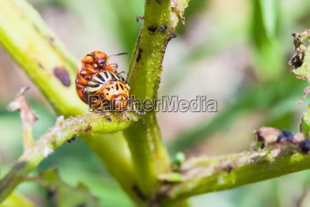 pair of colorado beetles on potato
