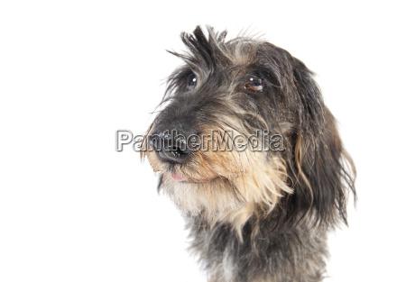 dachshund face isolated