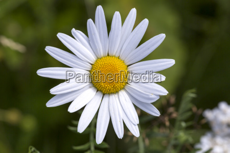 oxeye daisy flower close up
