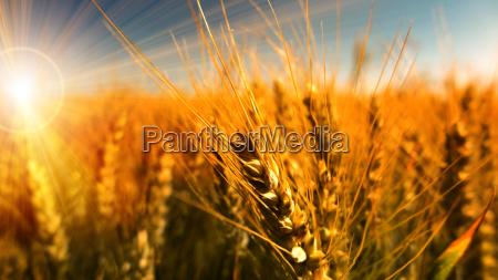 cornfield in the morning sun