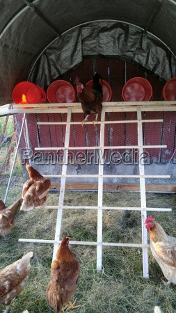 perched rooster overlooking hens