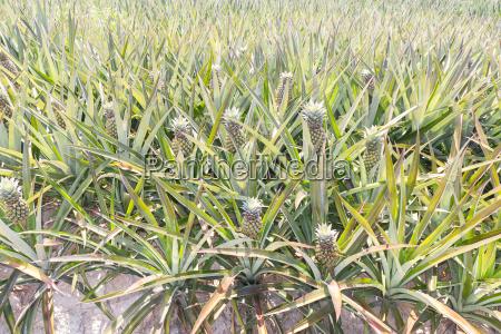 baby pineapple plantation
