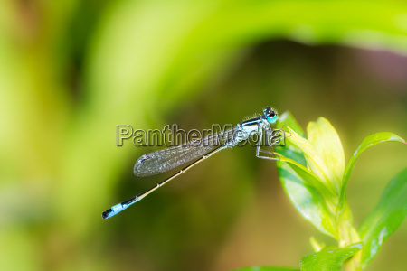 bluetail damselfly on a green leaf