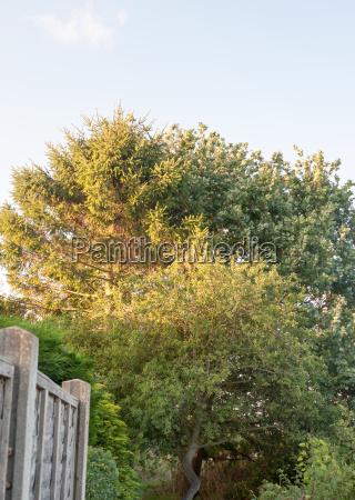 big tree in back garden half