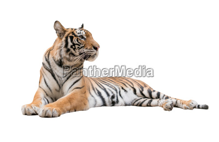 female bengal tiger isolated