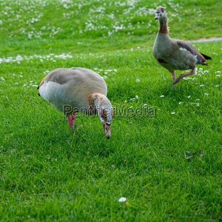 egyptian geese alopochen aegyptiacus wandering through