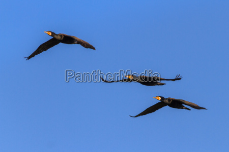 cormorants phalacrocorax carbo in flight
