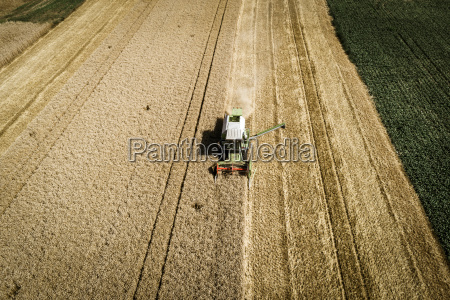 green combine harvests wheat on a