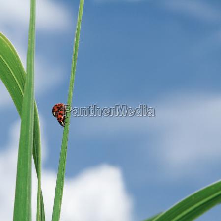 ladybug mating on a reed leaf