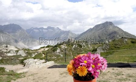 flowers in front of aletsch glacier