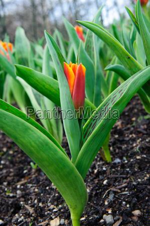 red tulip in the garden