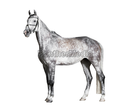 white riding horse side view exempted