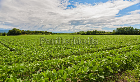 field of soybean agricultural landscape