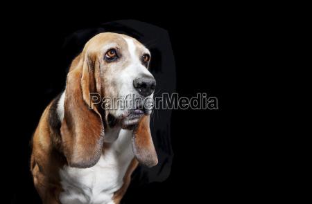 basset hound black background