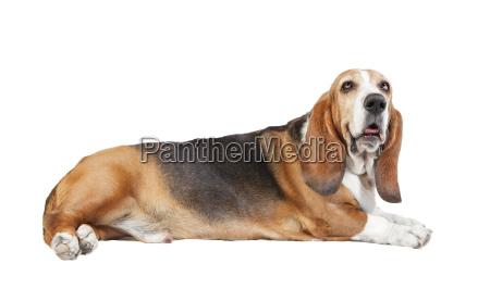basset hound white background