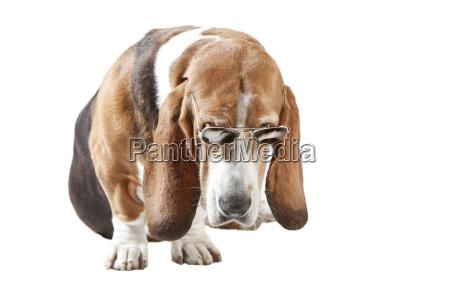 basset, hound, sunglasses, exempt - 22903725
