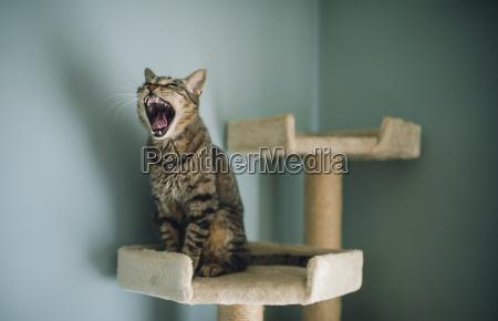 portrait of yawning cat sitting on