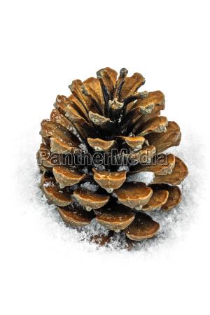 pine cones in the snow