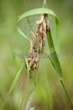 group of caterpillars in spring
