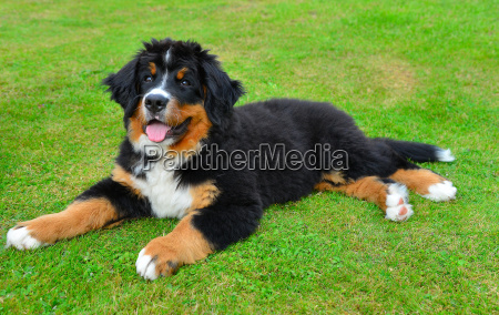 bernese mountain dog puppy on green