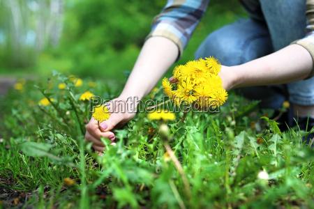 dandelion dandelion weed or medicinal plant