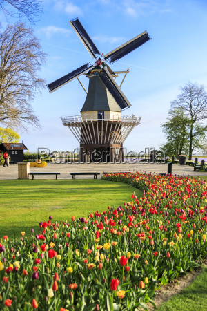 typical windmill framed by multicolored tulips